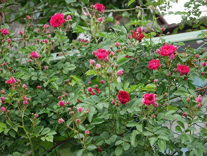 キングローズ(ツルバラ)の花が増えて来た。2019年-6.jpg