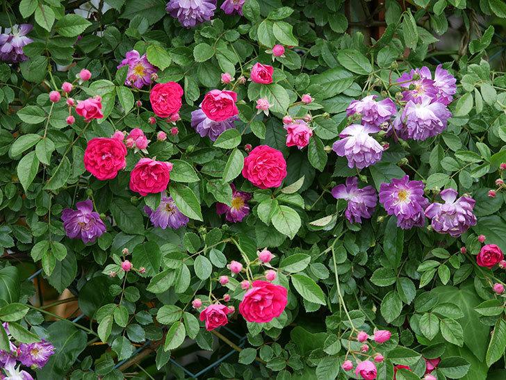 キングローズ(ツルバラ)の花が増えて来た。2019年-9.jpg