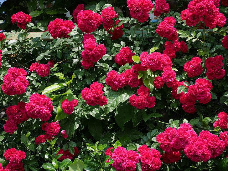 キングローズ(ツルバラ)の花が満開になった。2018年-1.jpg