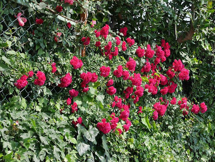 キングローズ(ツルバラ)の花が満開になった。2018年-2.jpg