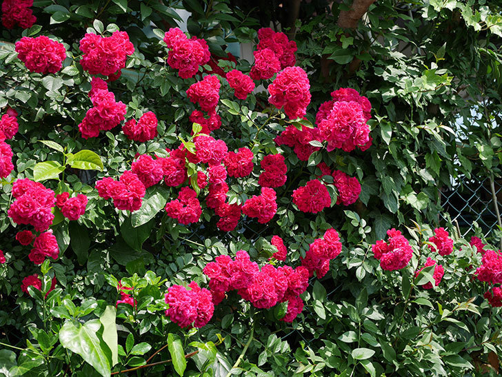 キングローズ(ツルバラ)の花が満開になった。2018年-3.jpg