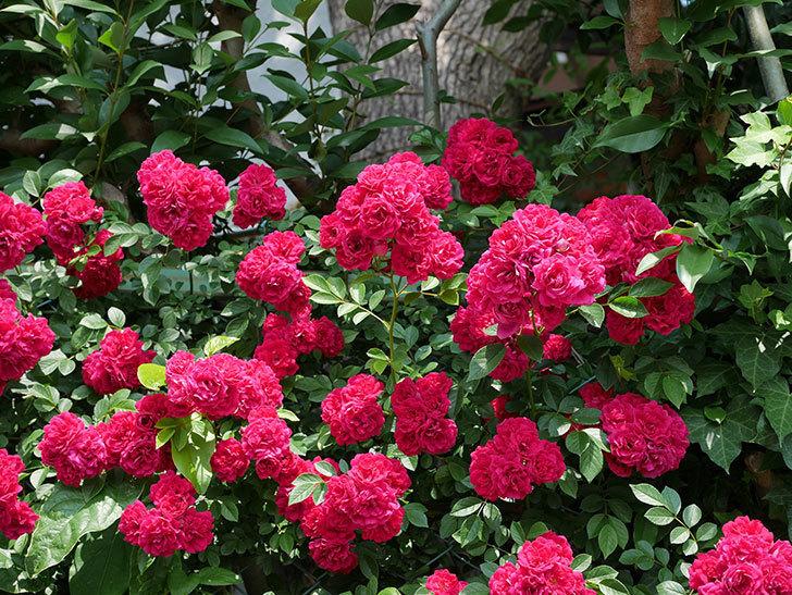 キングローズ(ツルバラ)の花が満開になった。2018年-4.jpg