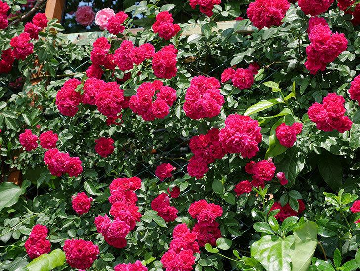 キングローズ(ツルバラ)の花が満開になった。2018年-5.jpg