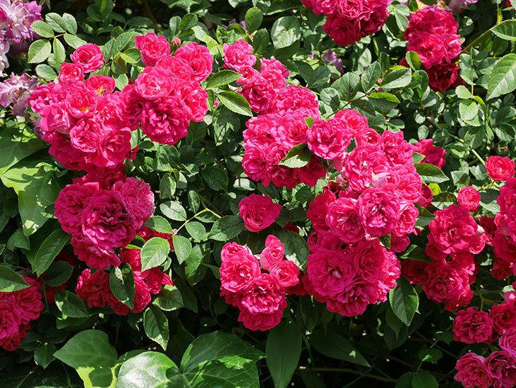 キングローズ(ツルバラ)の花が満開になった。2019年-1.jpg