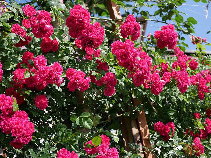 キングローズ(ツルバラ)の花が満開になった。2019年-11.jpg