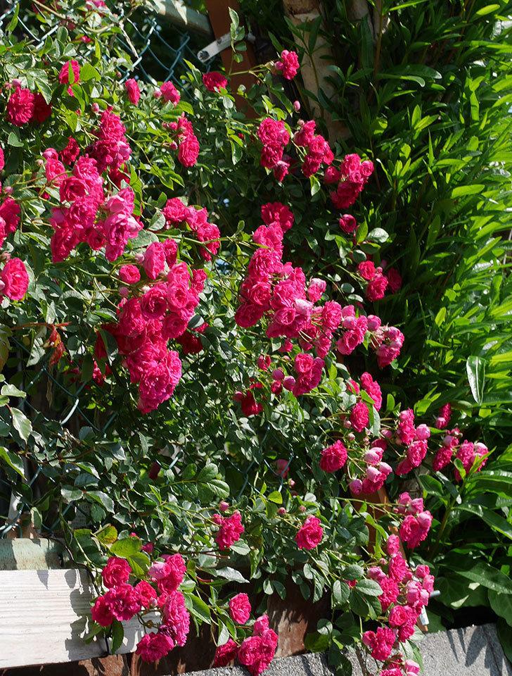 キングローズ(ツルバラ)の花が満開になった。2019年-13.jpg