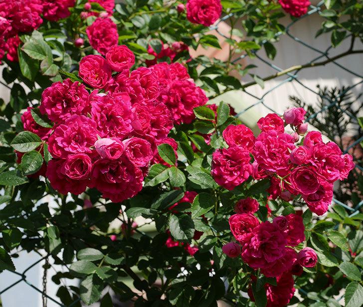 キングローズ(ツルバラ)の花が満開になった。2019年-16.jpg