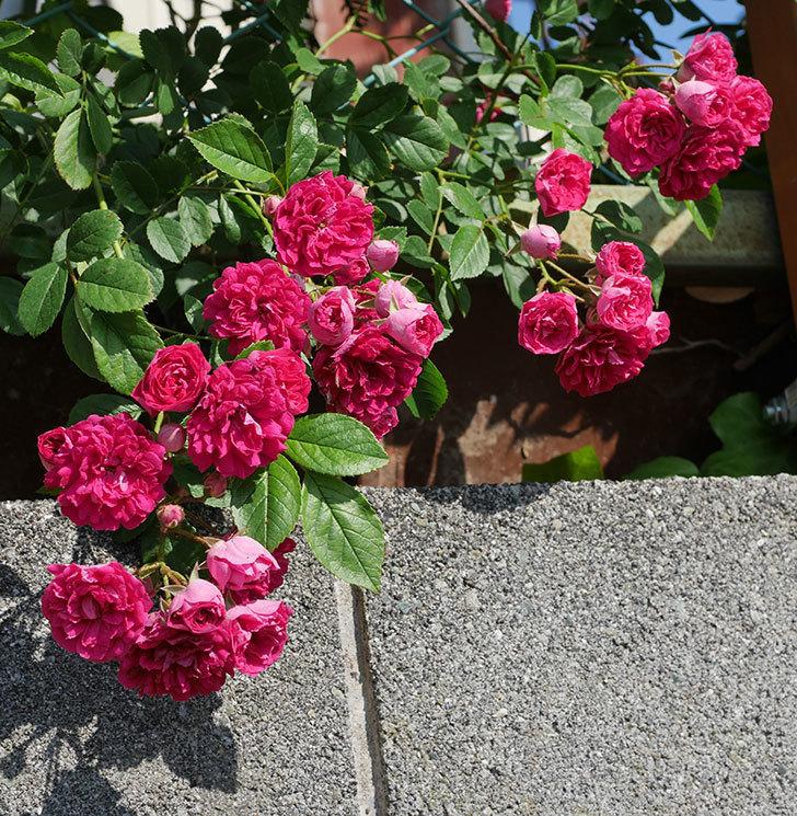 キングローズ(ツルバラ)の花が満開になった。2019年-17.jpg