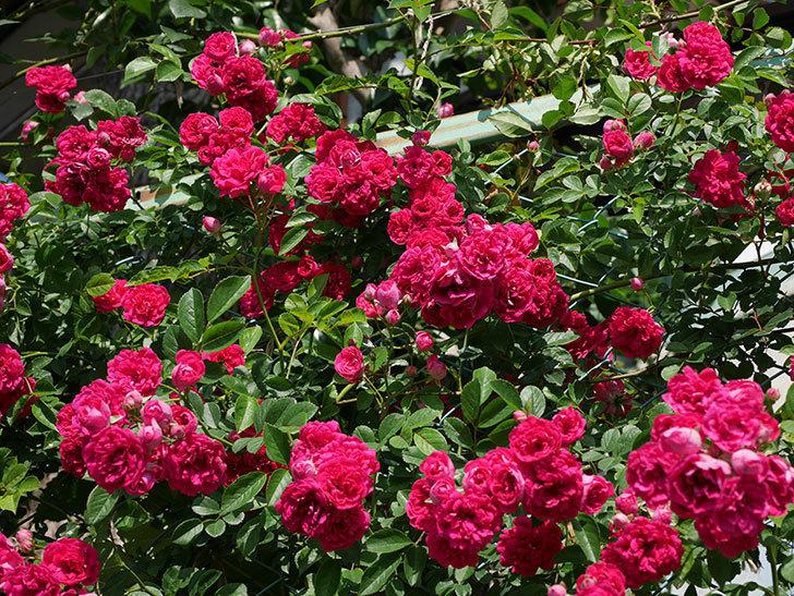 キングローズ(ツルバラ)の花が満開になった。2019年-18.jpg