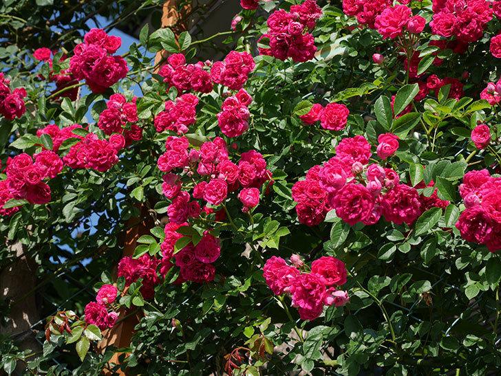 キングローズ(ツルバラ)の花が満開になった。2019年-19.jpg