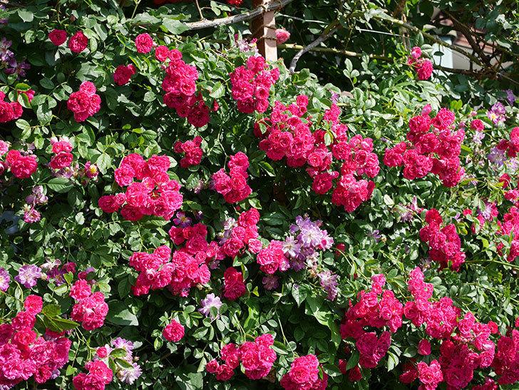 キングローズ(ツルバラ)の花が満開になった。2019年-2.jpg