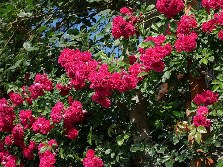 キングローズ(ツルバラ)の花が満開になった。2019年-20.jpg
