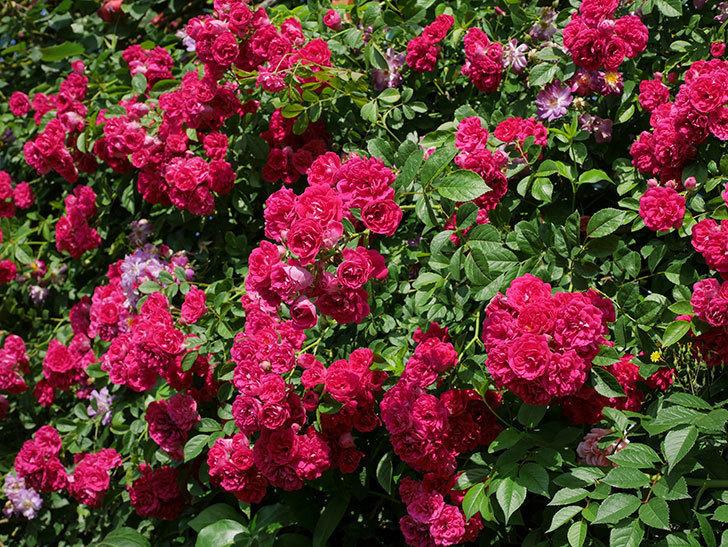 キングローズ(ツルバラ)の花が満開になった。2019年-22.jpg