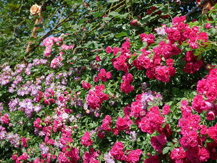 キングローズ(ツルバラ)の花が満開になった。2019年-23.jpg