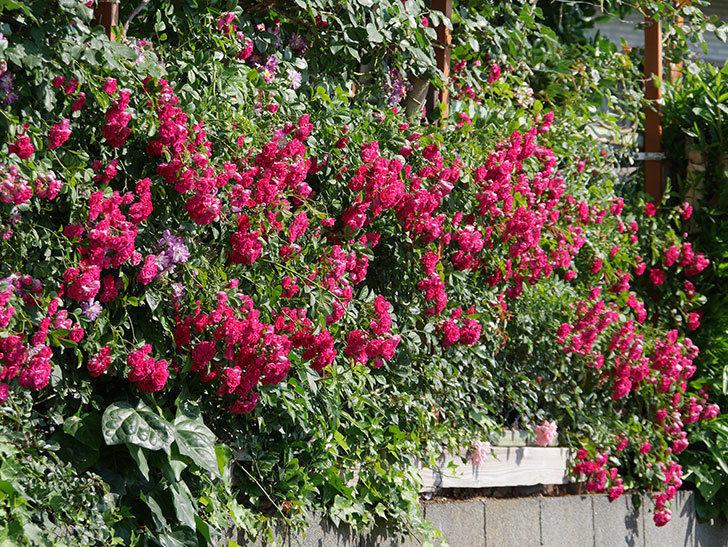 キングローズ(ツルバラ)の花が満開になった。2019年-24.jpg