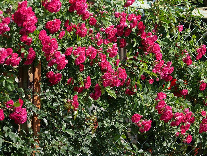 キングローズ(ツルバラ)の花が満開になった。2019年-25.jpg