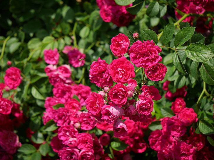 キングローズ(ツルバラ)の花が満開になった。2019年-29.jpg