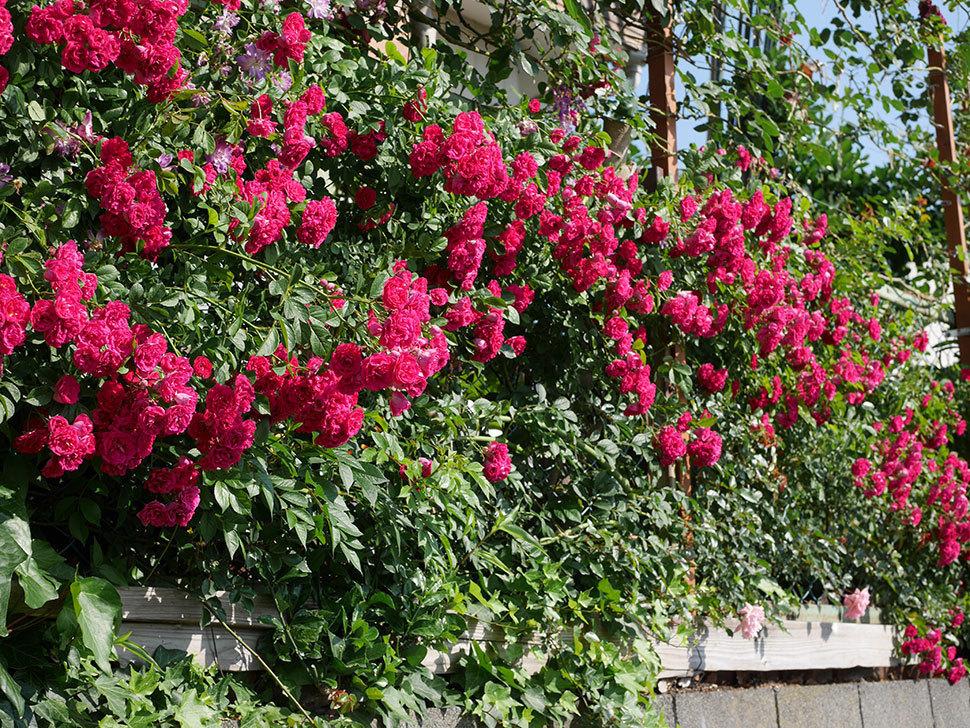 キングローズ(ツルバラ)の花が満開になった。2019年-3.jpg