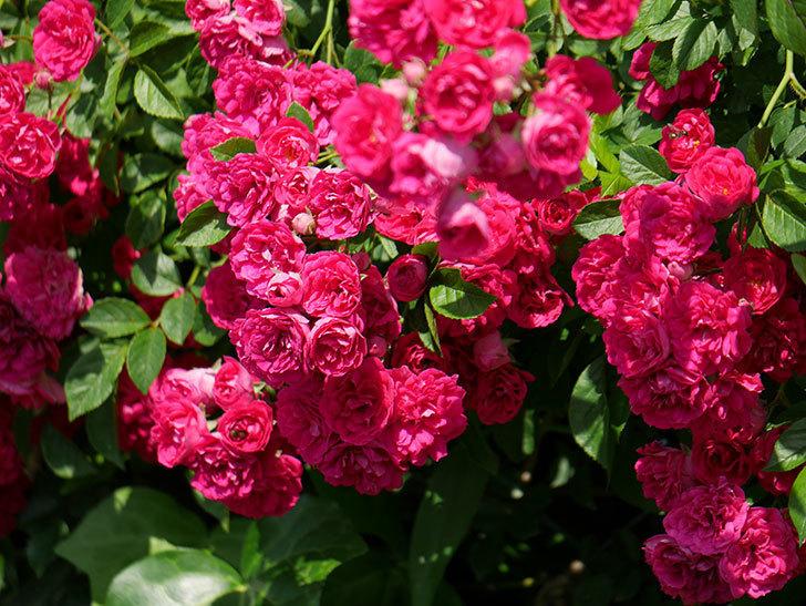 キングローズ(ツルバラ)の花が満開になった。2019年-30.jpg