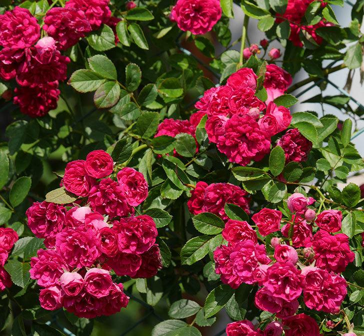 キングローズ(ツルバラ)の花が満開になった。2019年-31.jpg