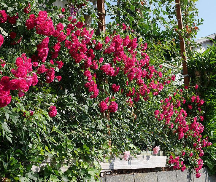 キングローズ(ツルバラ)の花が満開になった。2019年-4.jpg