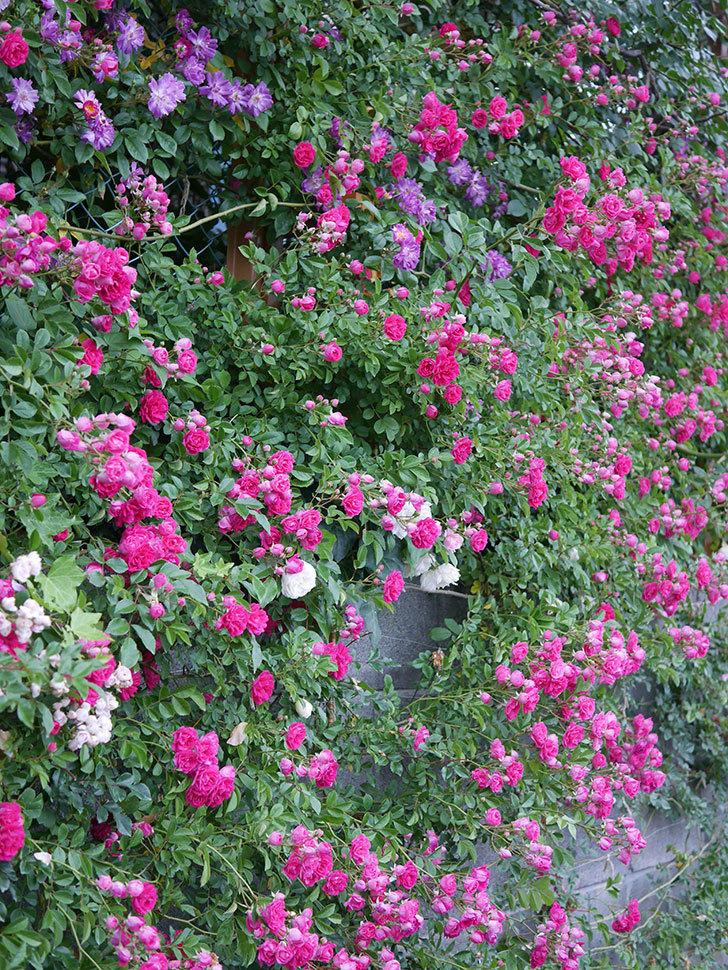 キングローズ(ツルバラ)の花が満開になった。2020年-001.jpg