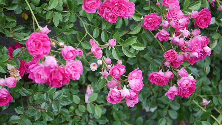 キングローズ(ツルバラ)の花が満開になった。2020年-002.jpg