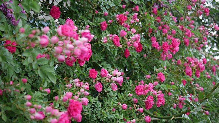 キングローズ(ツルバラ)の花が満開になった。2020年-003.jpg