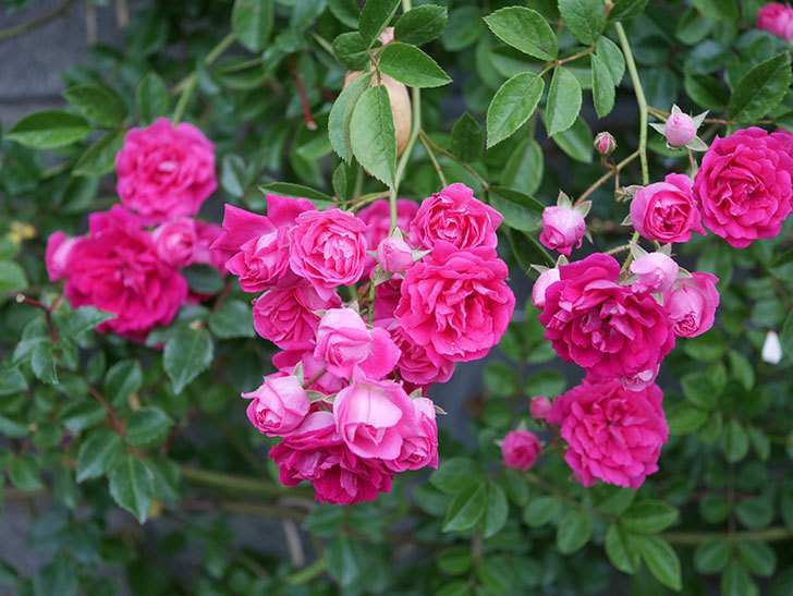 キングローズ(ツルバラ)の花が満開になった。2020年-005.jpg