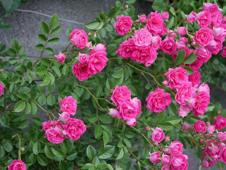 キングローズ(ツルバラ)の花が満開になった。2020年-006.jpg