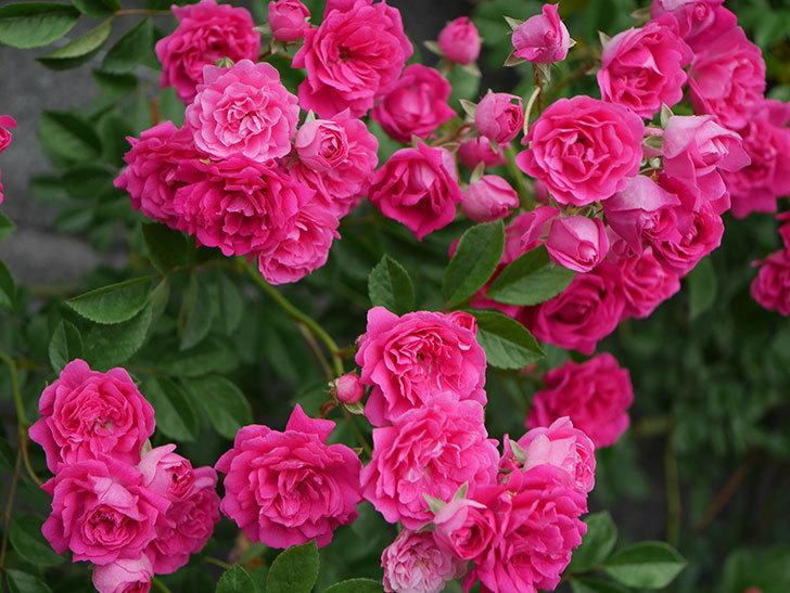 キングローズ(ツルバラ)の花が満開になった。2020年-007.jpg