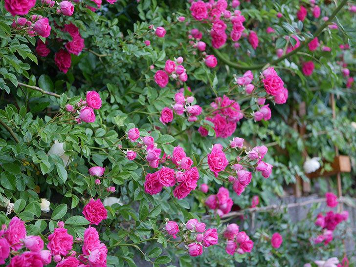 キングローズ(ツルバラ)の花が満開になった。2020年-009.jpg