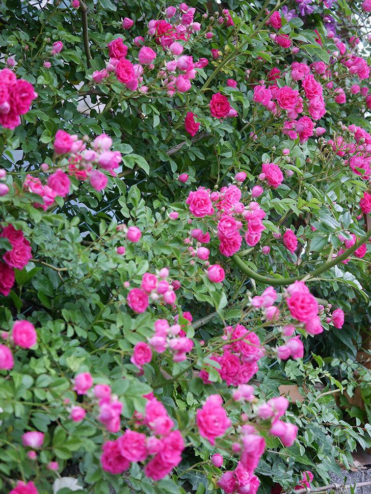 キングローズ(ツルバラ)の花が満開になった。2020年-010.jpg