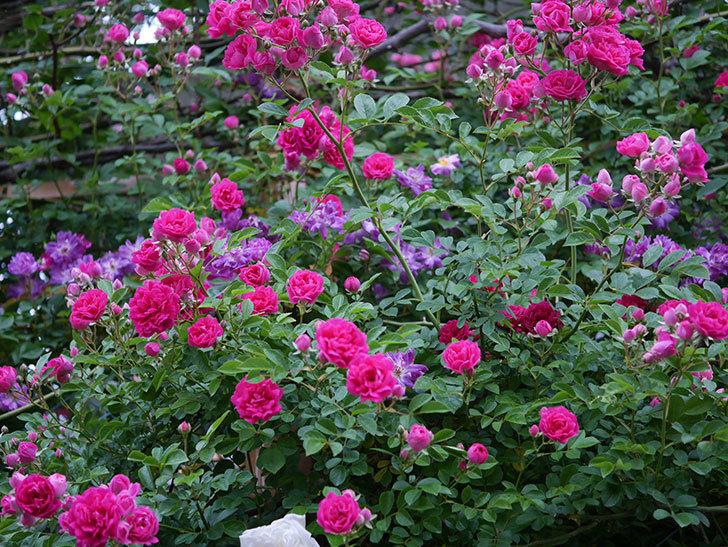 キングローズ(ツルバラ)の花が満開になった。2020年-011.jpg