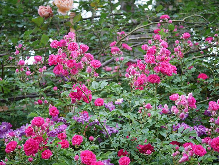 キングローズ(ツルバラ)の花が満開になった。2020年-012.jpg