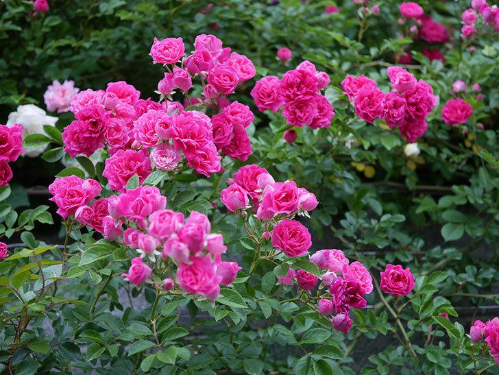 キングローズ(ツルバラ)の花が満開になった。2020年-013.jpg