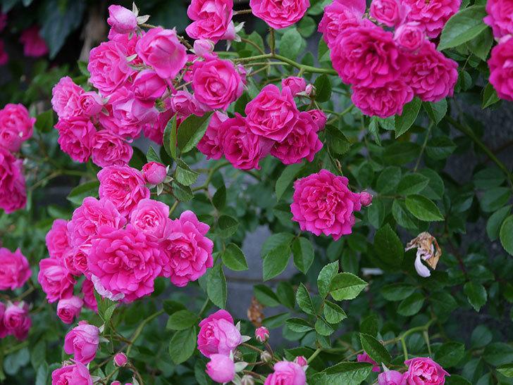 キングローズ(ツルバラ)の花が満開になった。2020年-014.jpg