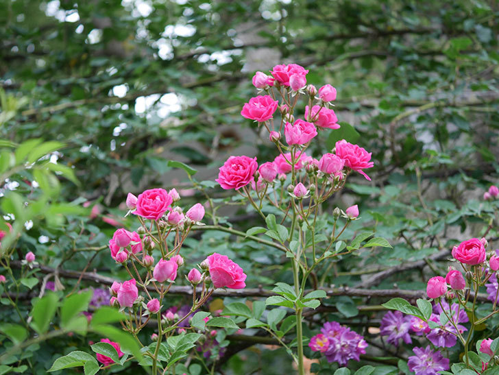 キングローズ(ツルバラ)の花が満開になった。2020年-015.jpg
