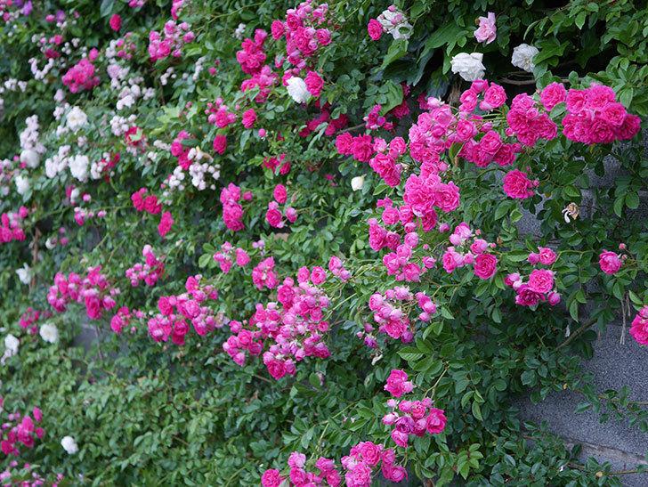 キングローズ(ツルバラ)の花が満開になった。2020年-016.jpg