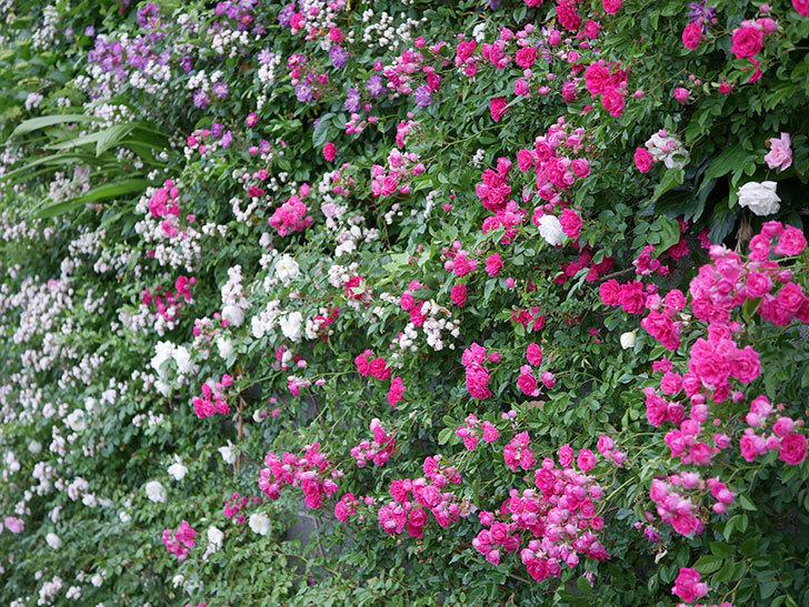 キングローズ(ツルバラ)の花が満開になった。2020年-017.jpg