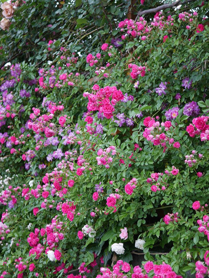 キングローズ(ツルバラ)の花が満開になった。2020年-018.jpg
