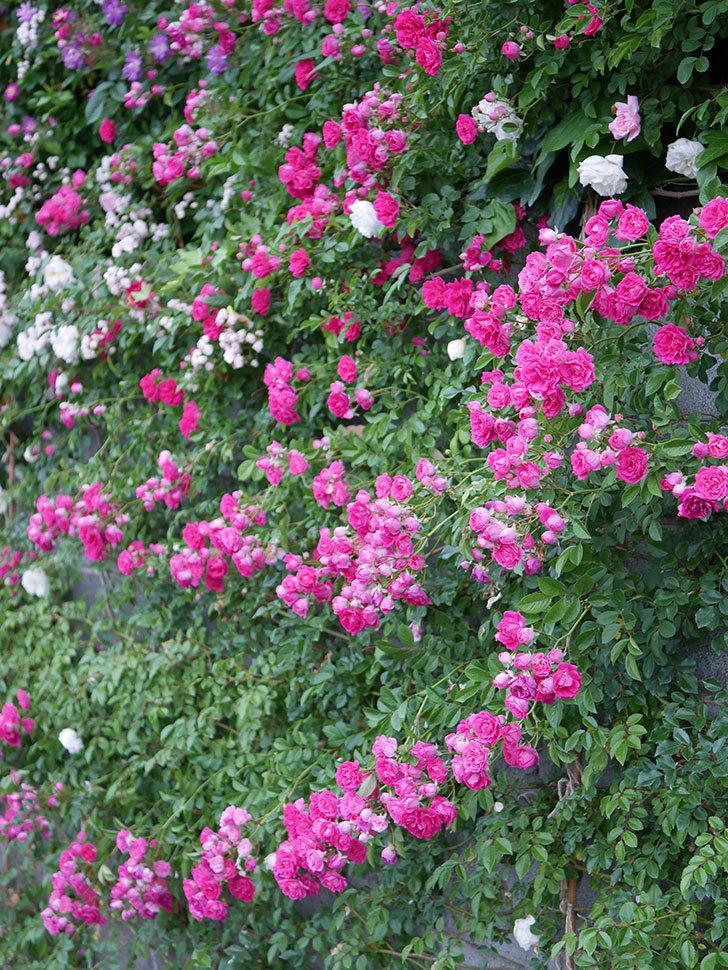 キングローズ(ツルバラ)の花が満開になった。2020年-019.jpg