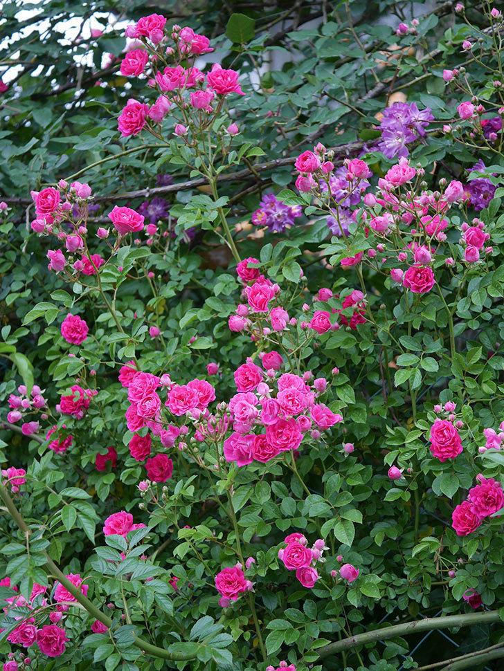 キングローズ(ツルバラ)の花が満開になった。2020年-020.jpg
