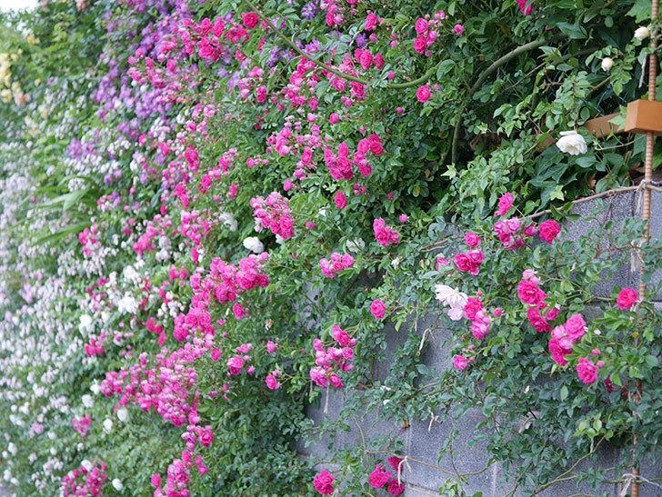 キングローズ(ツルバラ)の花が満開になった。2020年-021.jpg