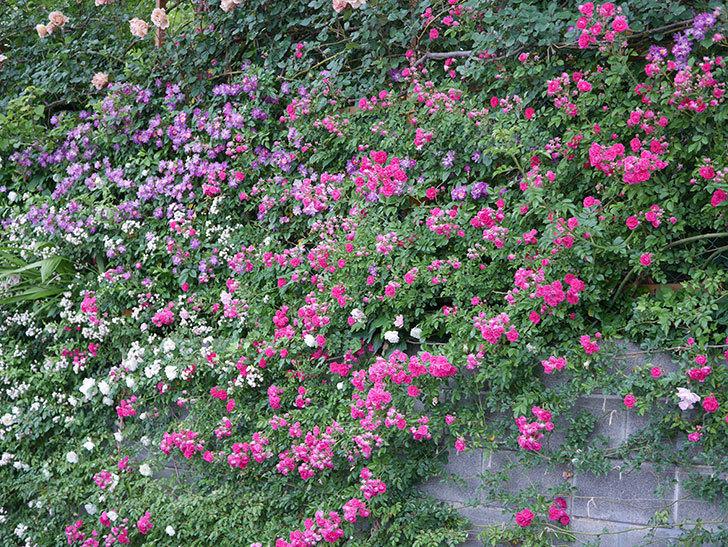 キングローズ(ツルバラ)の花が満開になった。2020年-022.jpg