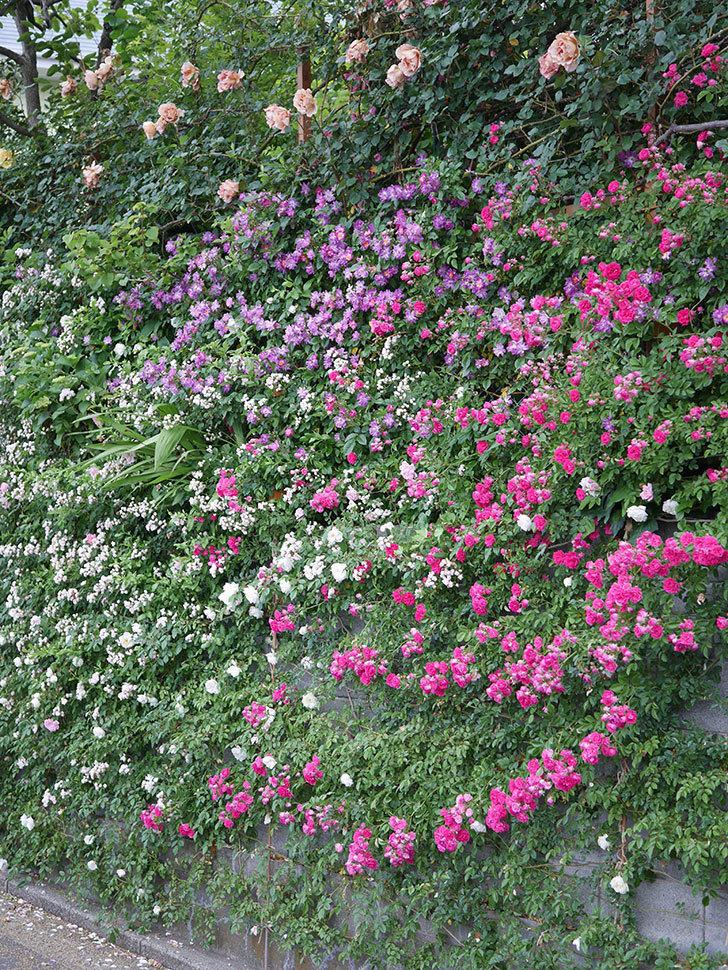 キングローズ(ツルバラ)の花が満開になった。2020年-023.jpg