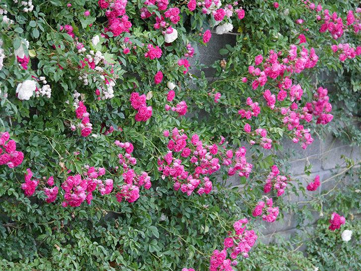 キングローズ(ツルバラ)の花が満開になった。2020年-025.jpg