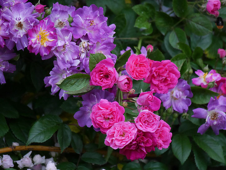 キングローズ(ツルバラ)の花が満開になった。2020年-026.jpg