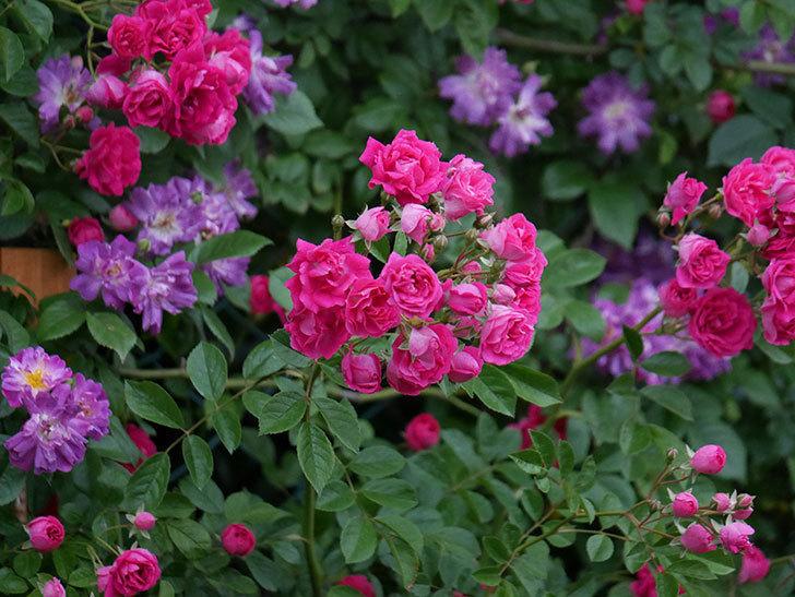 キングローズ(ツルバラ)の花が満開になった。2020年-027.jpg