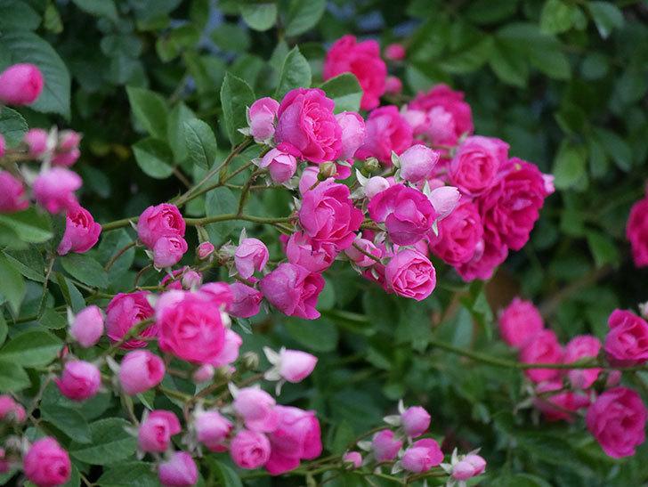 キングローズ(ツルバラ)の花が満開になった。2020年-028.jpg